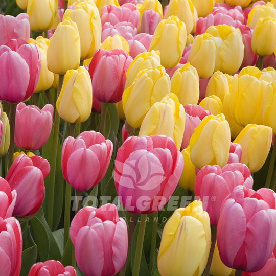 Cape hyannis flower bulbs landscape design totalgreen holland cape hyannis mid or late spring flowering mightylinksfo