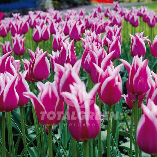 Landscaping flower bulbs, claudia, purple and white lily flowered tulips, tulips