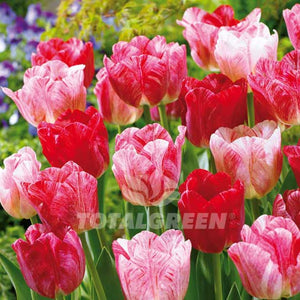 Landscaping flower bulbs, hemisphere, pink, rosy-red and white tulips, trend combinations