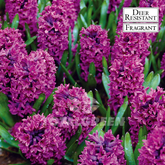 Landscaping flower bulbs, woodstock, purple hyacinths, hyacinths
