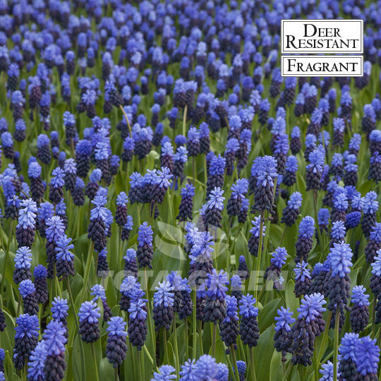 Landscaping flower bulbs, muscari latifolium, blue and dark blue, specialty flowers
