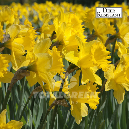 Golden Harvest Flower Bulbs Landscape Design