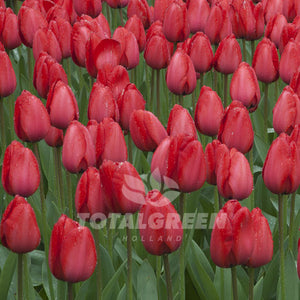 Landscaping flower bulbs, red impression, red tulips, tulips
