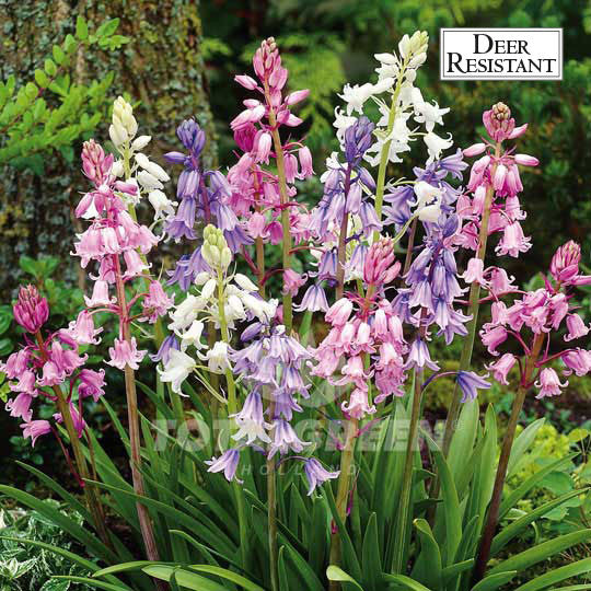 Landscaping flower bulbs, scilla campanulata mix, pink, violet blue and white scilla, specialty