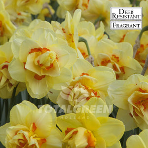 Landscaping flower bulbs, tahiti, yellow-orange narcissi, daffodils and narcissi