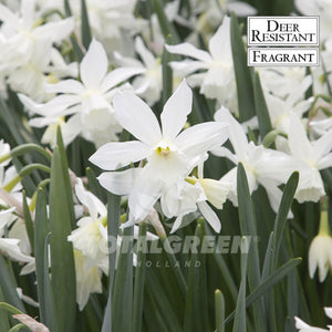 Landscaping flower bulbs, triandrus thalia, white narcissi, daffodils and narcissi
