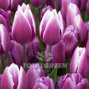 Tulip Mix 'Wood' You Love