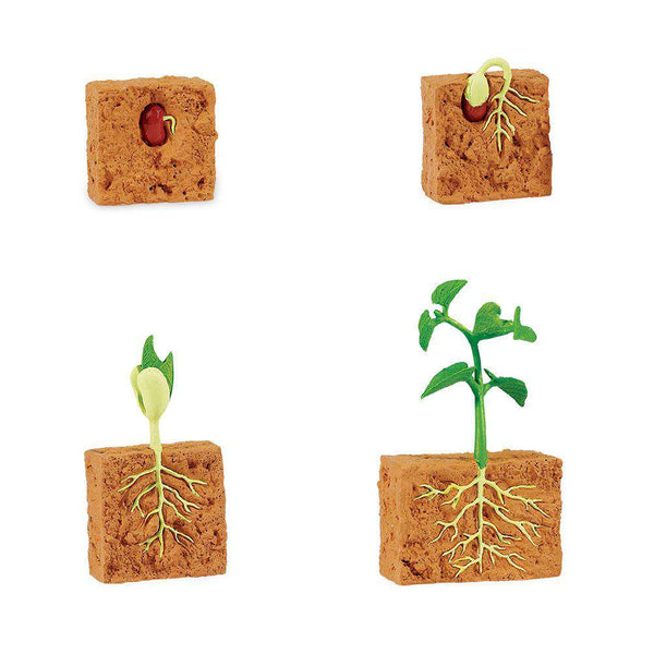 Safari LTD | Safariology ~ LIFE CYCLE OF A GREEN BEAN PLANT