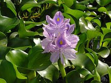 Water Hyacinth - Sold in Store Only