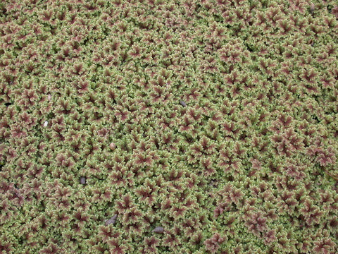 Fairy Moss (Azolla Fern) - Sold in Store Only