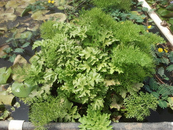 Amazonian Floating Fern - Sold in Store Only