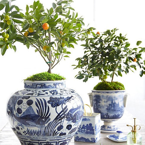 Citrus topiary trees in chinoiserie blue and white pots