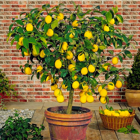 Lemon tree in terracota pot