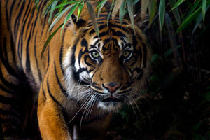 Tigers: The Largest Cats in the World