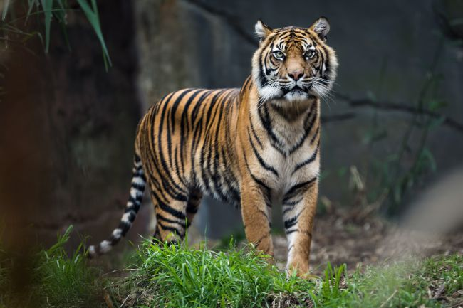 The Fight to Save the Tiger