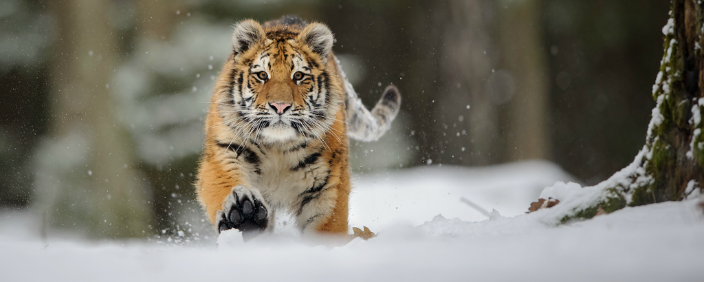 Tiger Genome Sequencing Determines There Are Six Subspecies