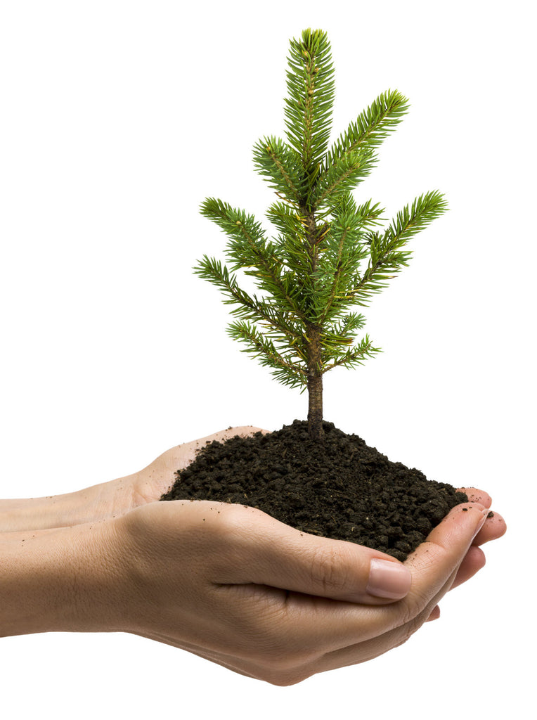 Official Arbor Day Pine Tree
