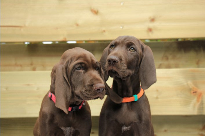 Useful Tips for Bringing Home Sibling Puppies