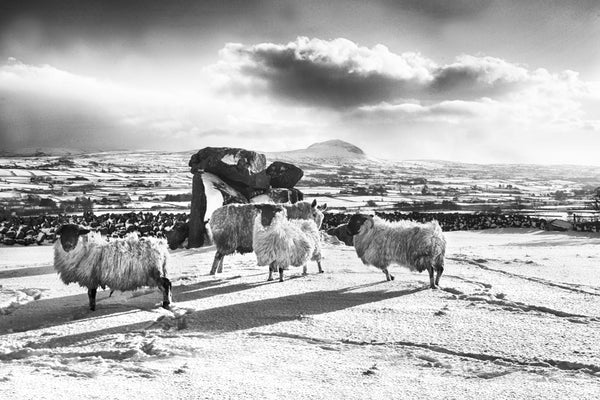 Slemish Sheep - Monochrome