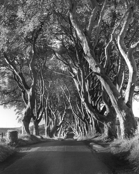 The Dark Hedges - Monochrome
