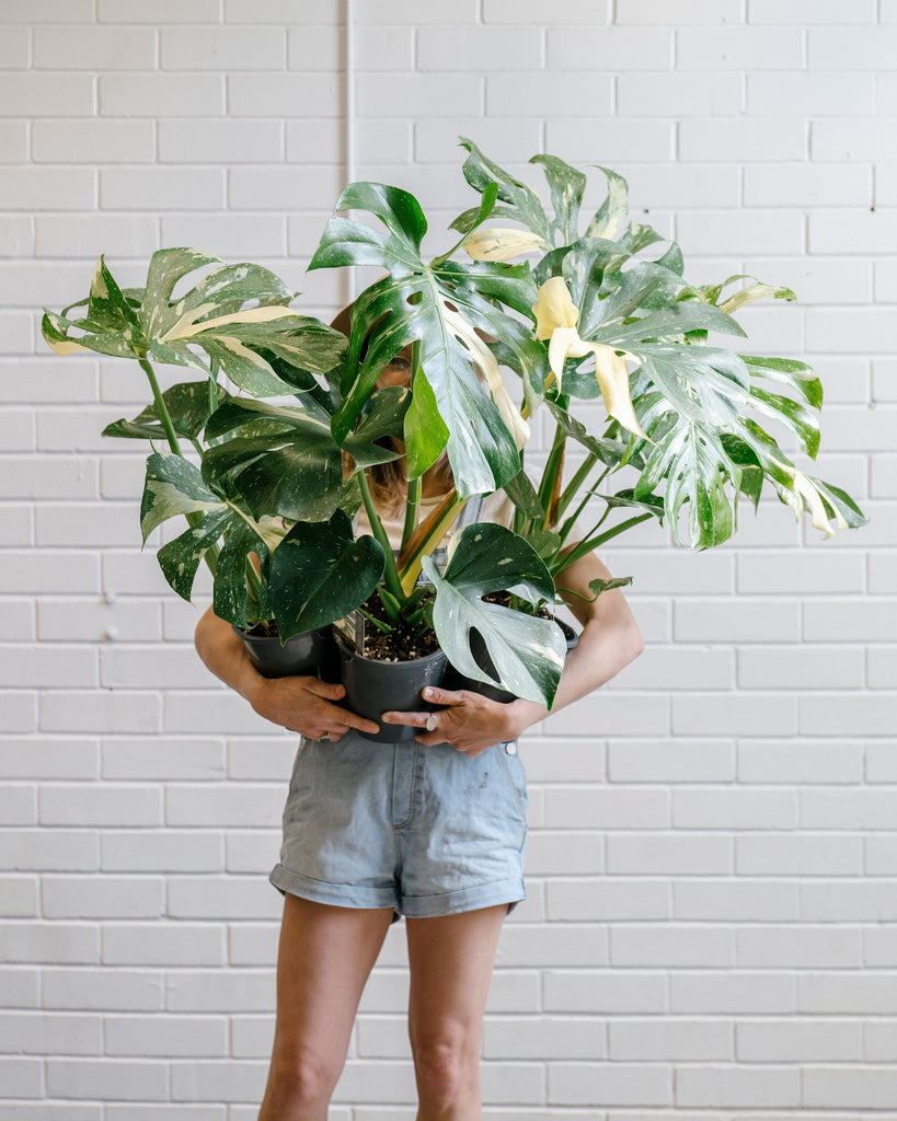 WIN: A VARIEGATED MONSTERA!