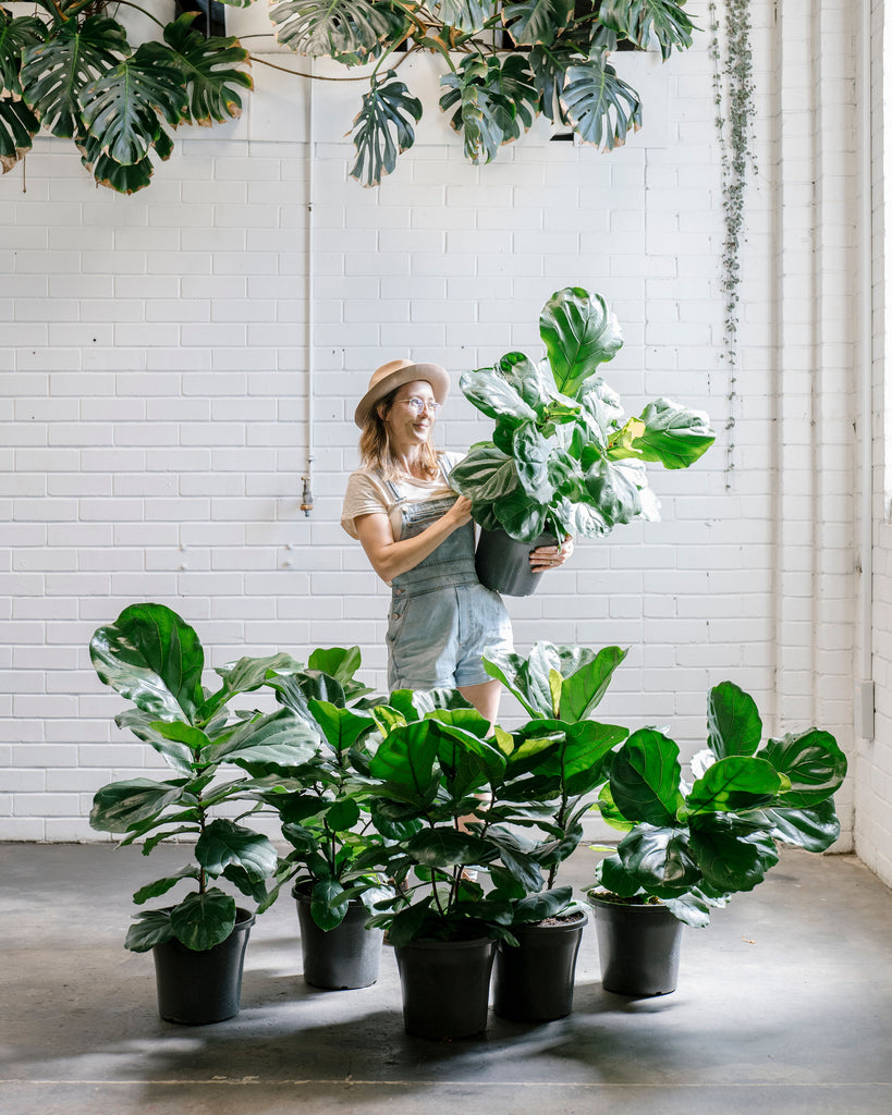 Fiddle Leaf Fig - Large