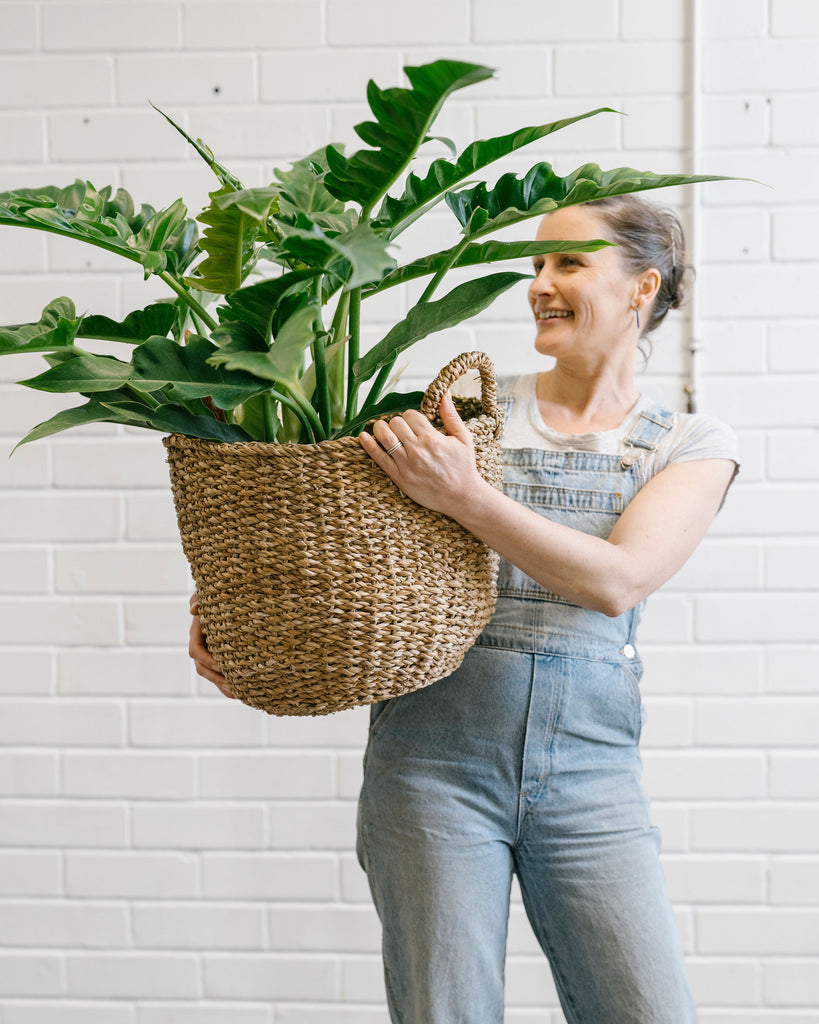 Philodendron Narrow - Extra Large