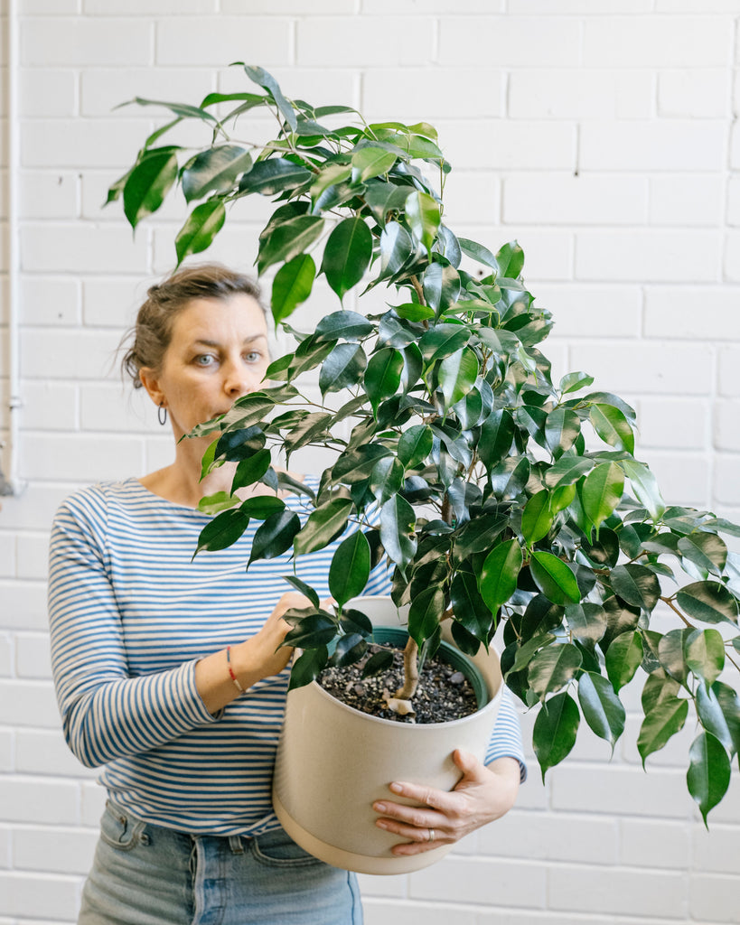 Ficus Midnight Beauty - Medium