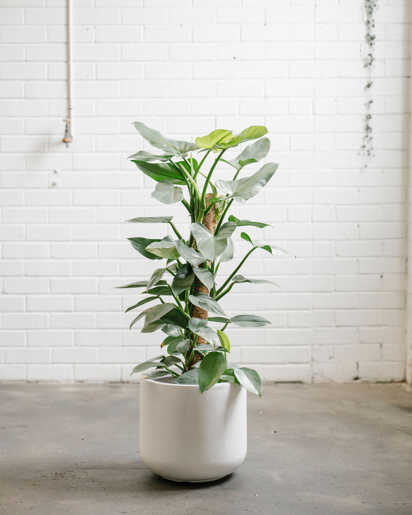 Philodendron Silver Sword - Totem