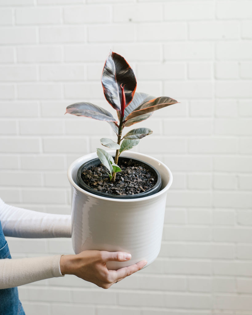 Ficus Ruby - Small