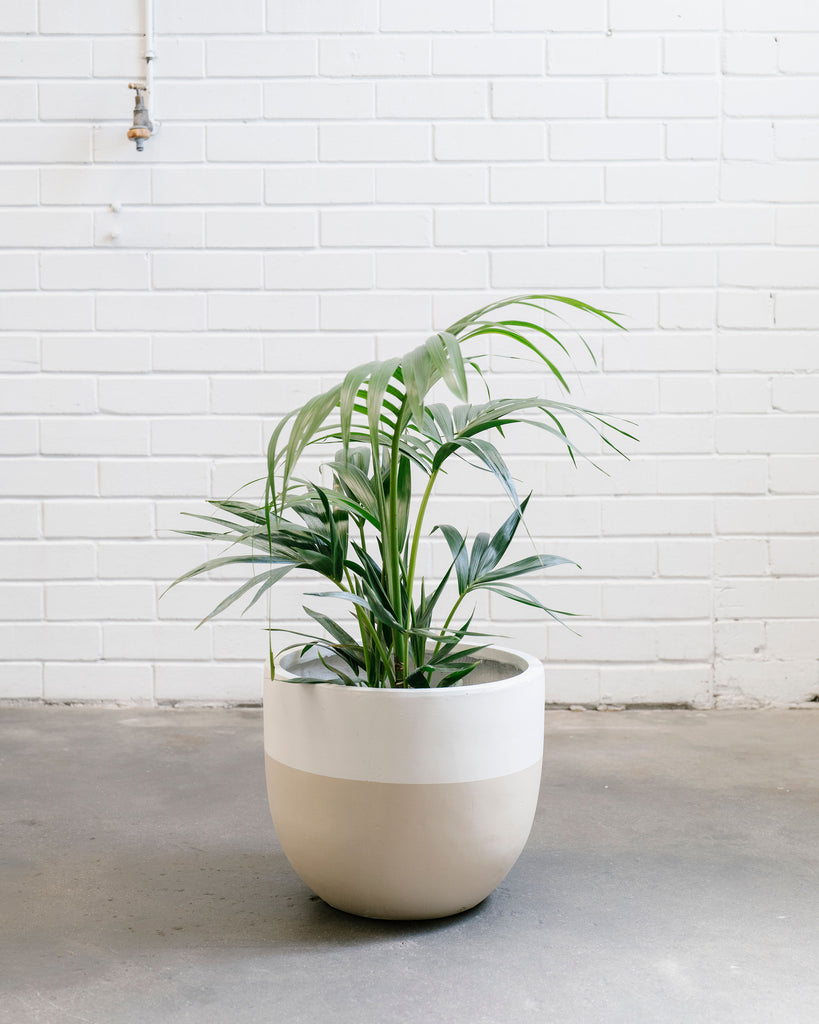Kentia Palm - Medium