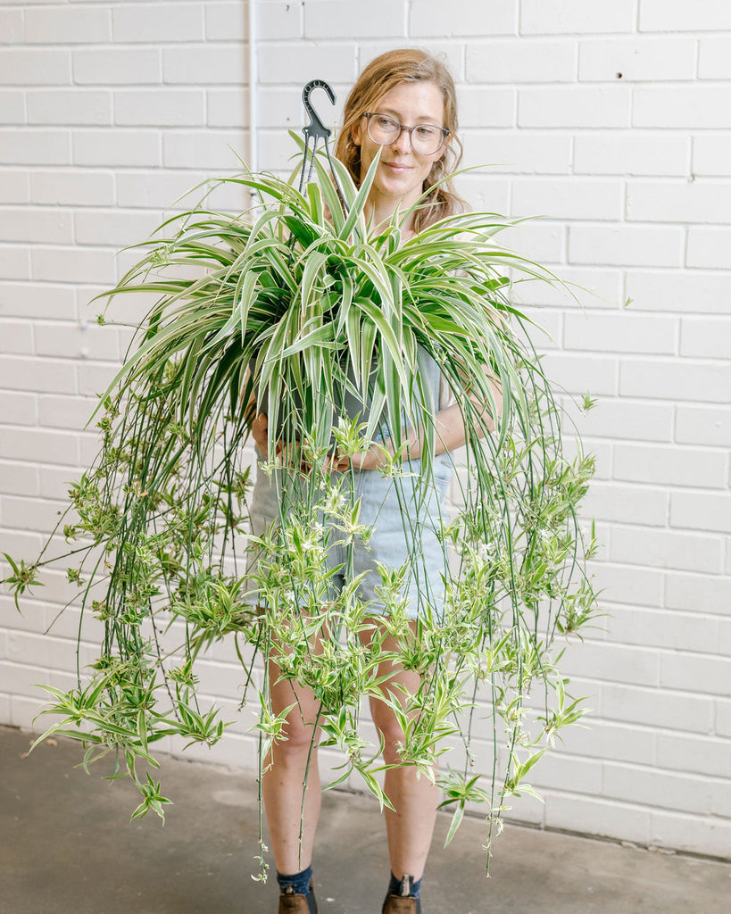 Spider Plant Basket - Extra Large
