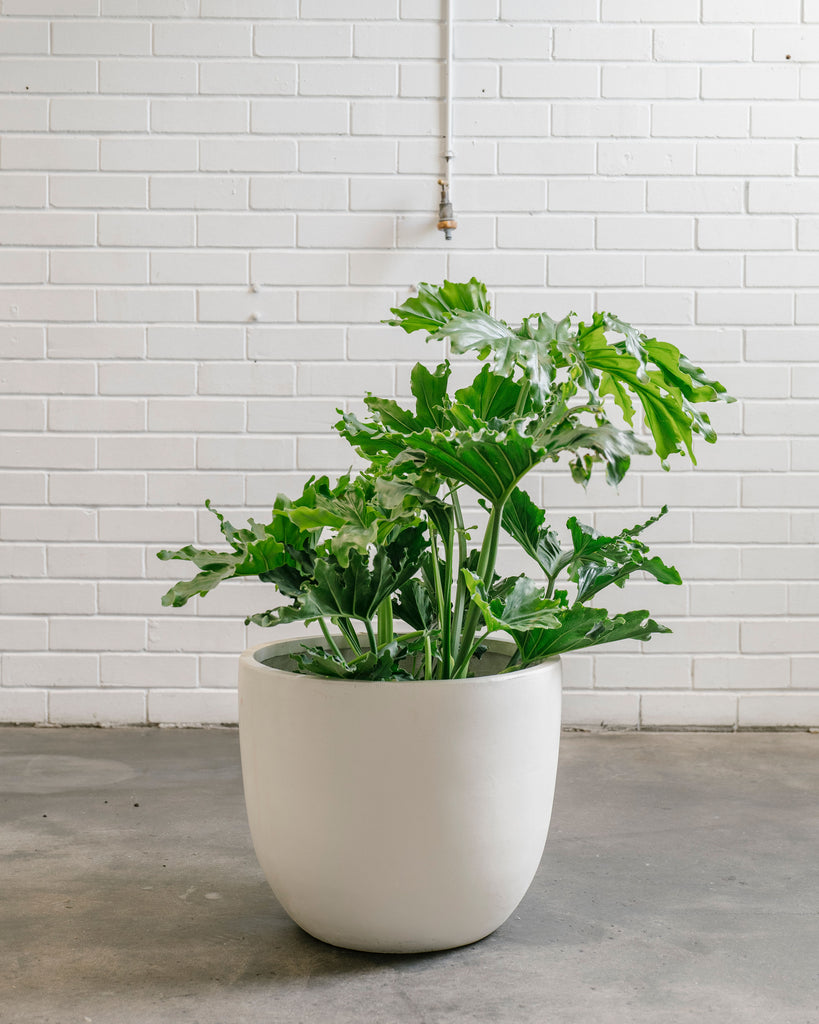 Philodendron Selloum - Compact