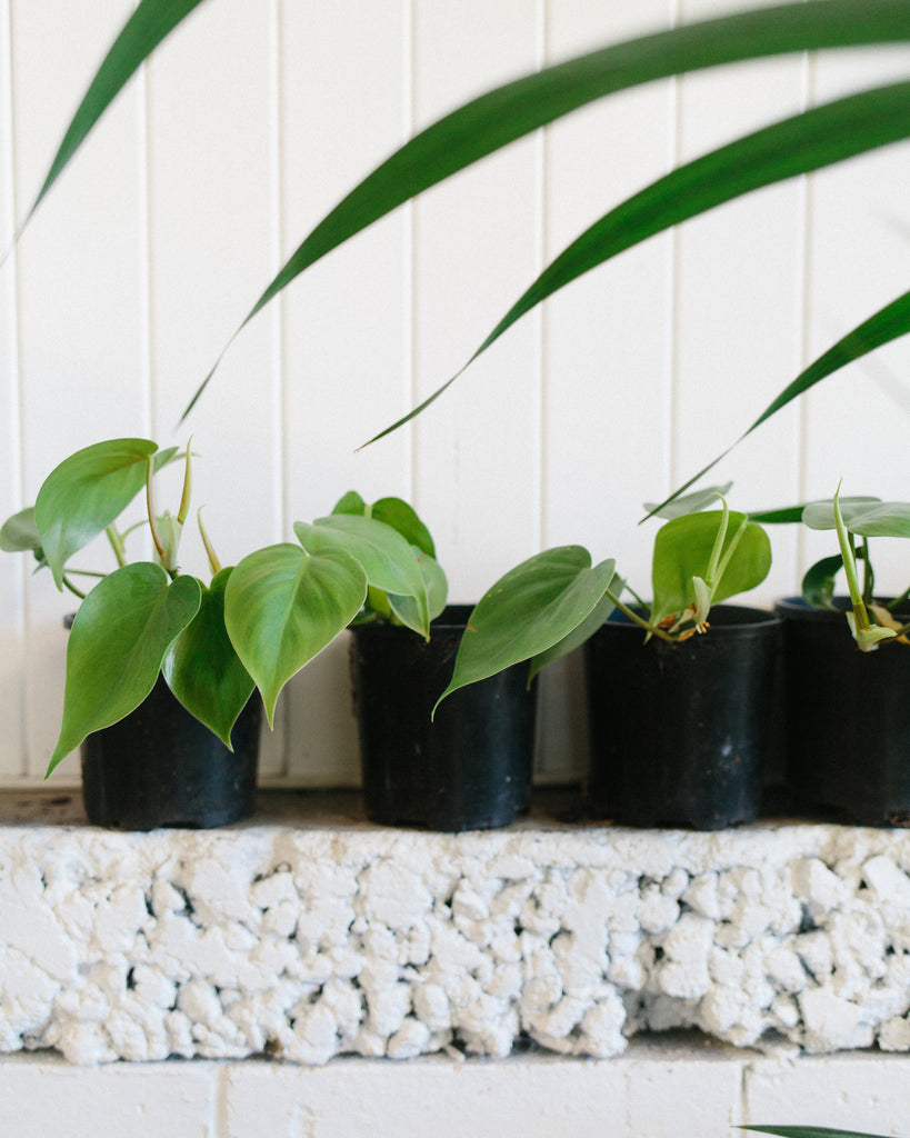 Heart-shaped Philodendron - Minis