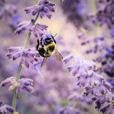 Plant Our Lavender Seeds