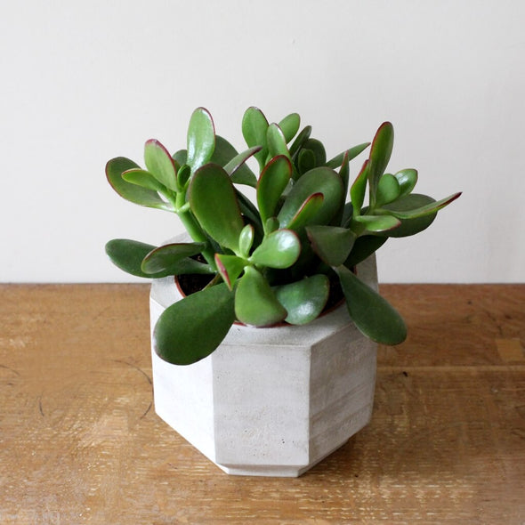 Cactus or Succulents Octagonal Concrete Planter