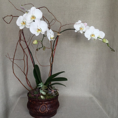 White Double Stem Orchid with Succulents