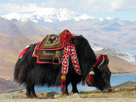 Yak. Photo by Dennis Jarvis. Published on Wikipedia.
