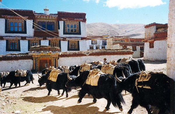 Yaks in the Ganden Thubchen Choekhorling Monastery, Litang, Sichuan, China.