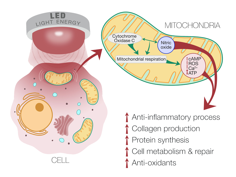 An informational graphic showing the relationship between the mitochondria and LED light energy, which results in increased ATP production leading to more energy to build collagen and repair tissue.