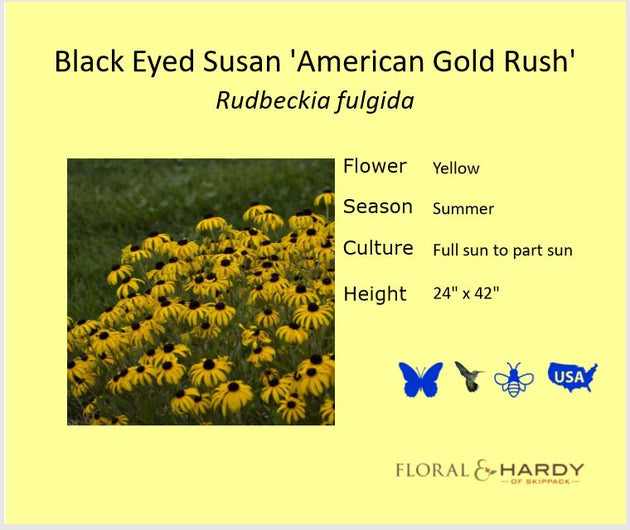 Black-Eyed Susan 'American Gold Rush'