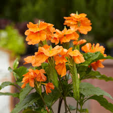 Crossandra -  Orange Marmalade