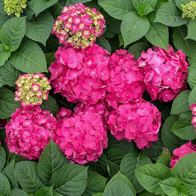 Hydrangea Endless Summer Summer Crush