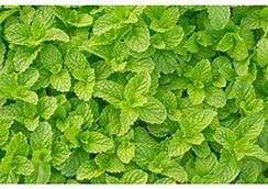 Mint 'Spearmint'