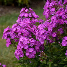 Phlox 'Cover Girl'