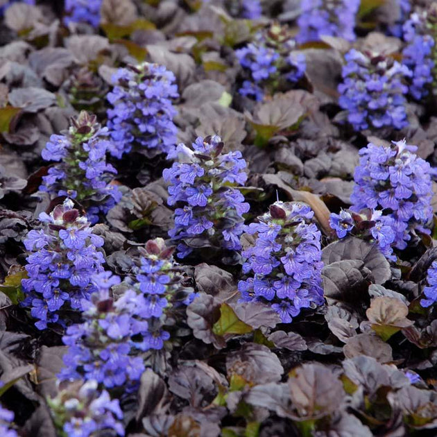 "Ajuga ""Black Scallop"""