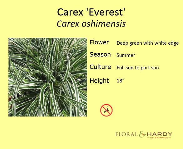 Carex Everest