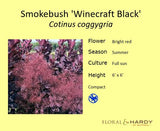 Cotinus 'Winecraft Black'