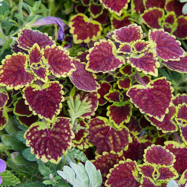 Hanging Basket Coleus Burgundy Wedding Train