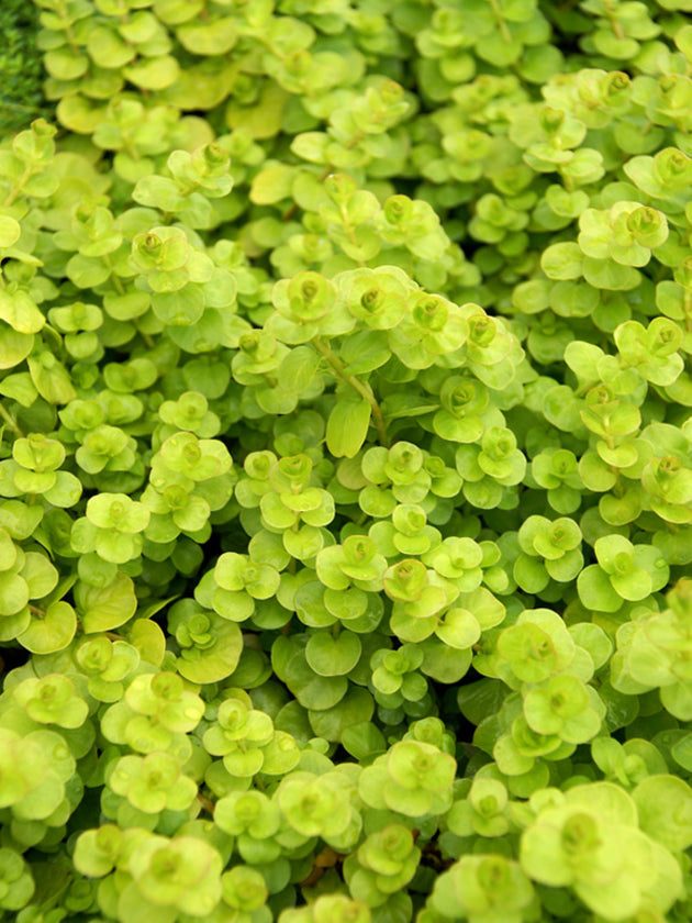 "Lysimachia ""Golden Creeping Jenny"""
